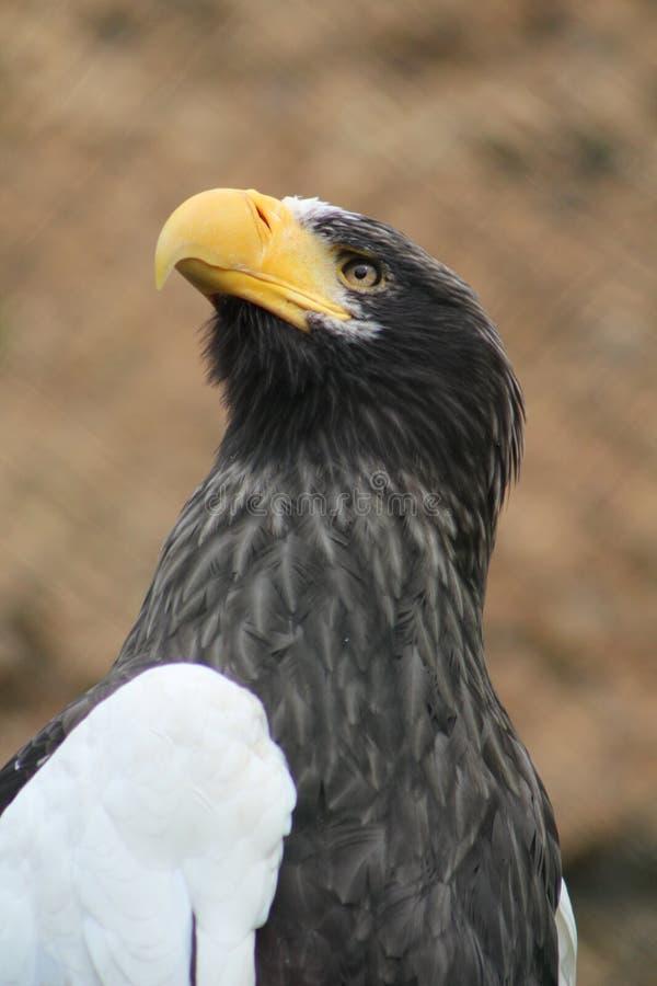 Den stora svartvita örnen royaltyfri fotografi