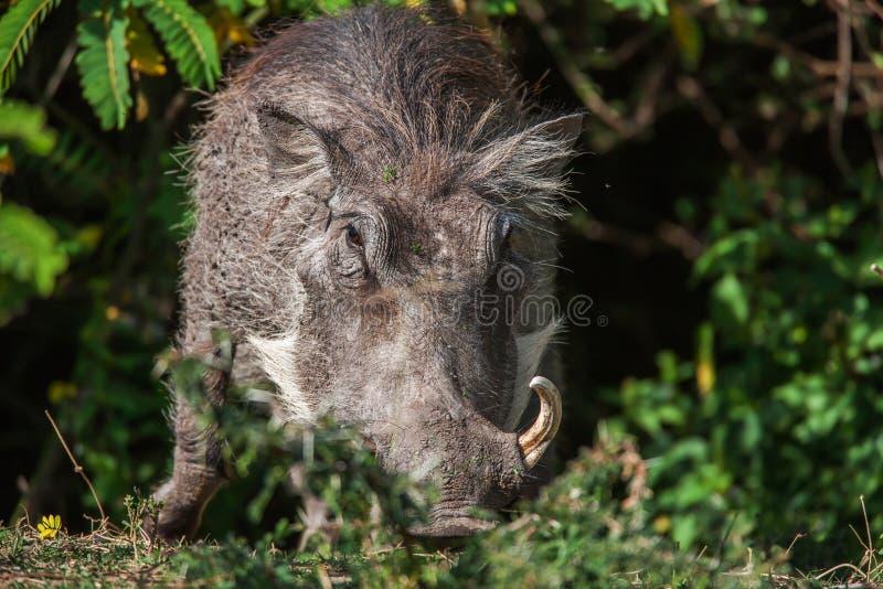 Den stora vårtsvinet med stora beten matar på hans knä i detta slut upp ståenden arkivfoton