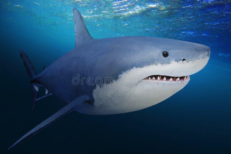 Den stora vita hajen royaltyfria foton