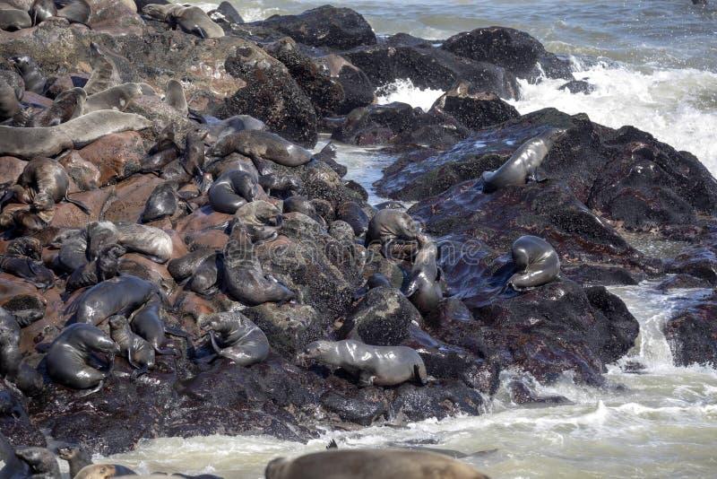 Den storartade skyddsremsan för kolonibruntpäls, Arctocephaluspusillus, uddekors, Namibia arkivbilder