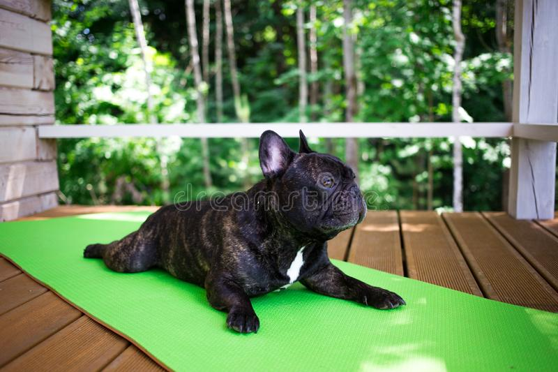 den strimmiga franska bulldoggen som ligger på yogamattan på terrassen i sommar, hundkapplöpning poserar arkivbilder