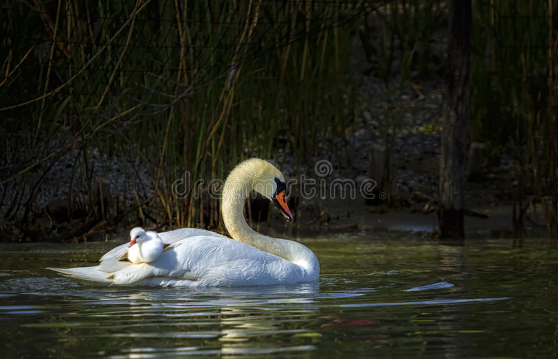 Den stumma svanen, cygnusoloren, moder och behandla som ett barn arkivbilder