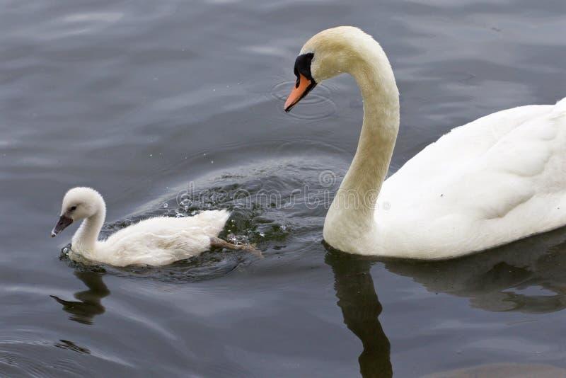 Den stumma svanen och hennes gulliga fågelunge simmar i sjön arkivbilder