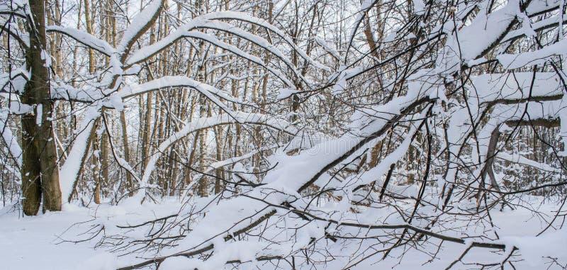 Den stupade snön har vridna filialer av träd arkivbild