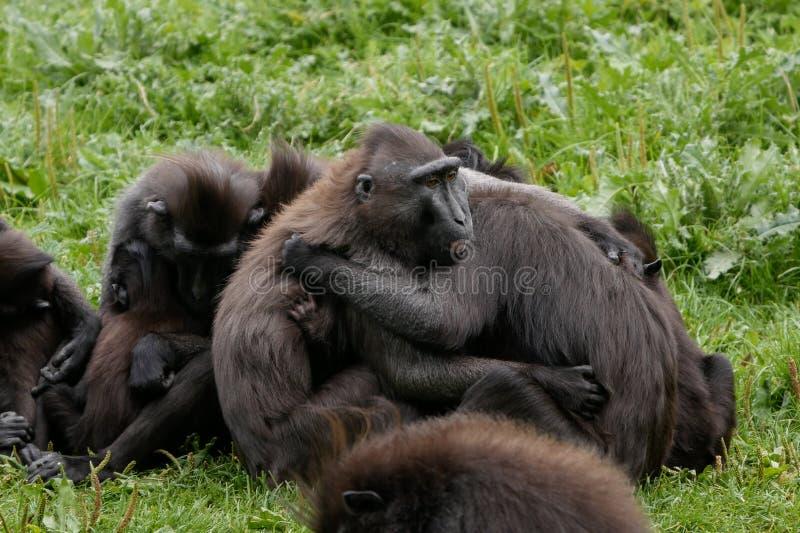 Den Sulawesi macaquen/gruppen krönade för den svarta macaques-/Macacanigraen som kramar och utför ömsesidigt ansa arkivfoto