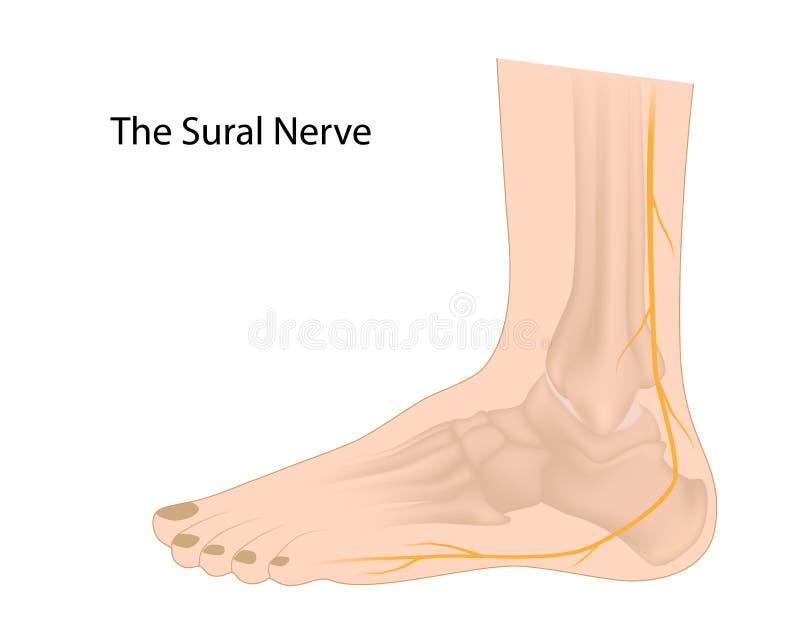 Den Sural nerven stock illustrationer