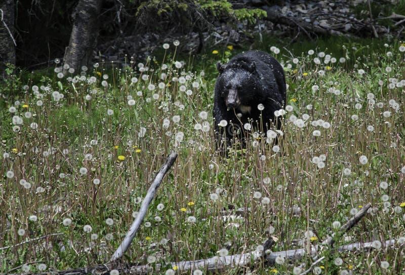 Den svarta björnen äter blommor arkivfoton