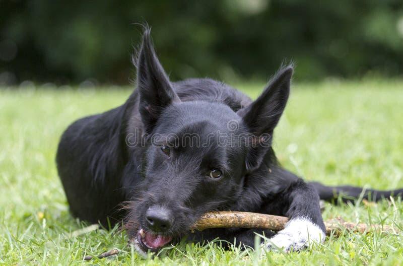 Den svarta blandade avelhunden med vit tafsar tuggningar som kopplas av på en pinne arkivfoto