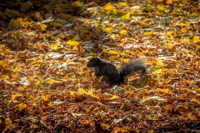 Den svarta ekorren mellan höstsidorna av Queens parkerar - Toronto, Ontario, Kanada arkivfoton