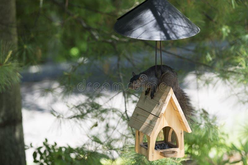 Den svarta ekorren slår plåten fotografering för bildbyråer