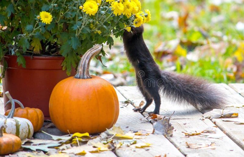den svarta ekorren tar tid att lukta blommorna royaltyfria bilder