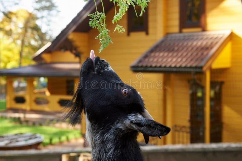 Den svarta geten äter gräs arkivfoto