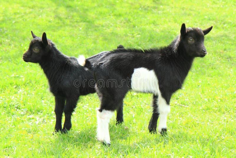 Den svarta geten behandla som ett barn i gräset fotografering för bildbyråer