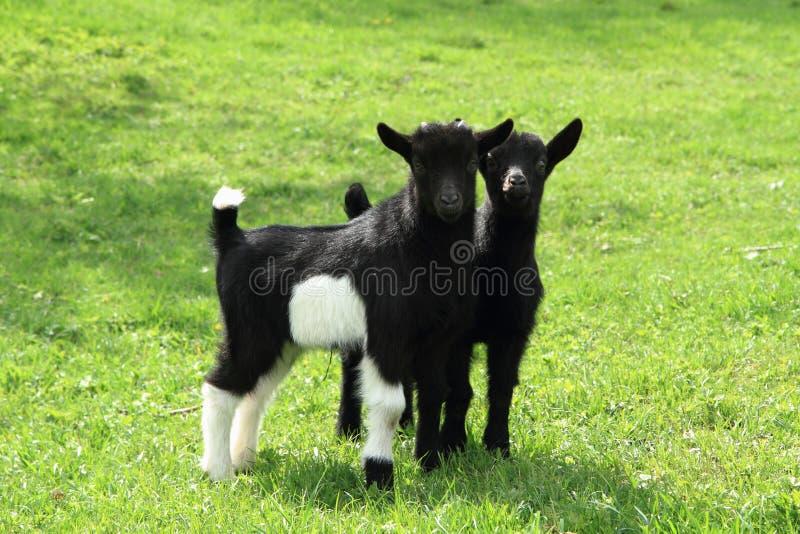 Den svarta geten behandla som ett barn i gräset arkivbilder