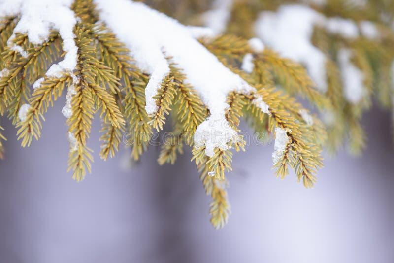 Den svarta granen sörjer trädet upp slut med is och insnöad vinter arkivfoto