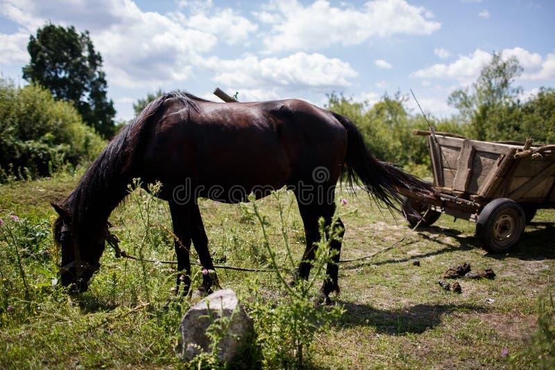 Den svarta hästen äter gräs betar in arkivbilder
