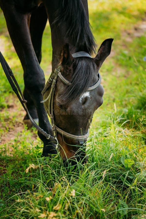 Den svarta hästen äter gräs i vår betar royaltyfri foto