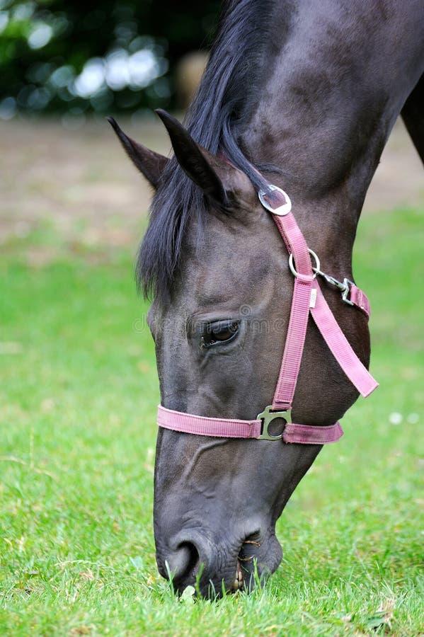 Den svarta hästen äter i vår betar Närbild av huvudet av hästen Ea royaltyfri bild