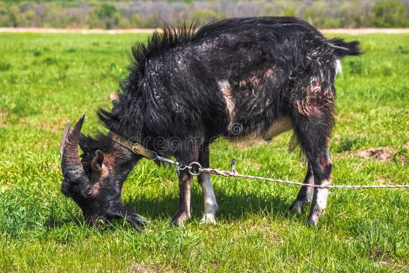Den svarta horned geten binds för att beta i en vår- eller sommaräng och äter fältgräs royaltyfri bild