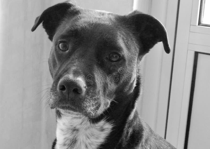 Den svarta hunden royaltyfria bilder