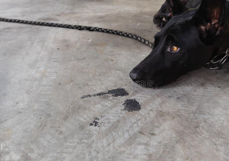Den svarta hunden lägger ner på golvet som tröttat Att vänta och att söka efter ägaren kommer tillbaka hem royaltyfri foto