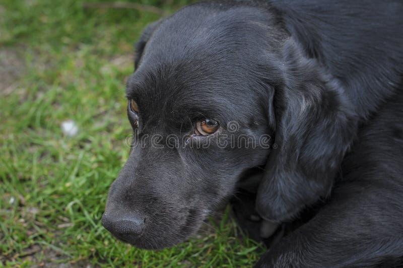 Den svarta hunden ligger på det gröna gräset arkivfoto