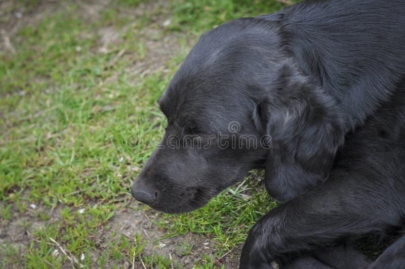 Den svarta hunden ligger på det gröna gräset fotografering för bildbyråer