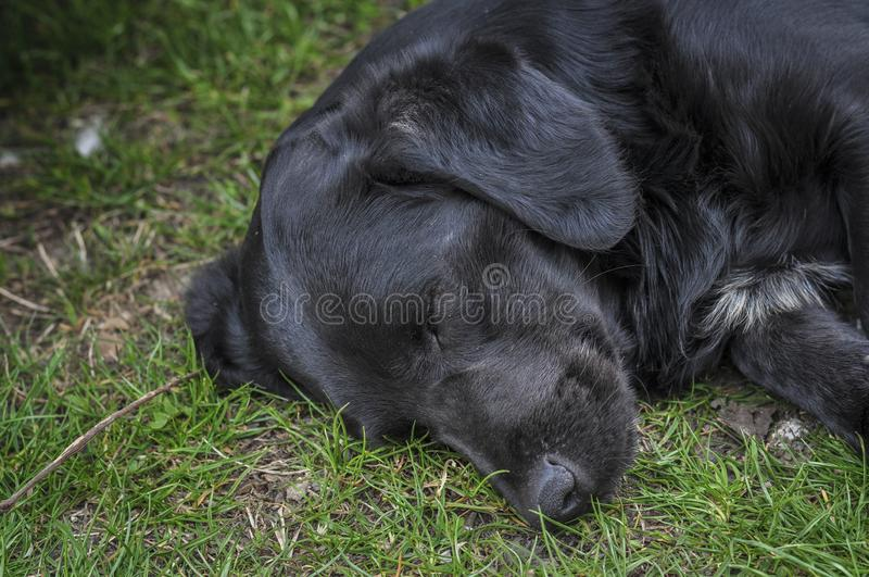 Den svarta hunden ligger på det gröna gräset royaltyfri bild
