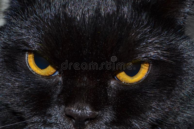 Den svarta katten ser dig med ljusa gula ögon royaltyfri fotografi