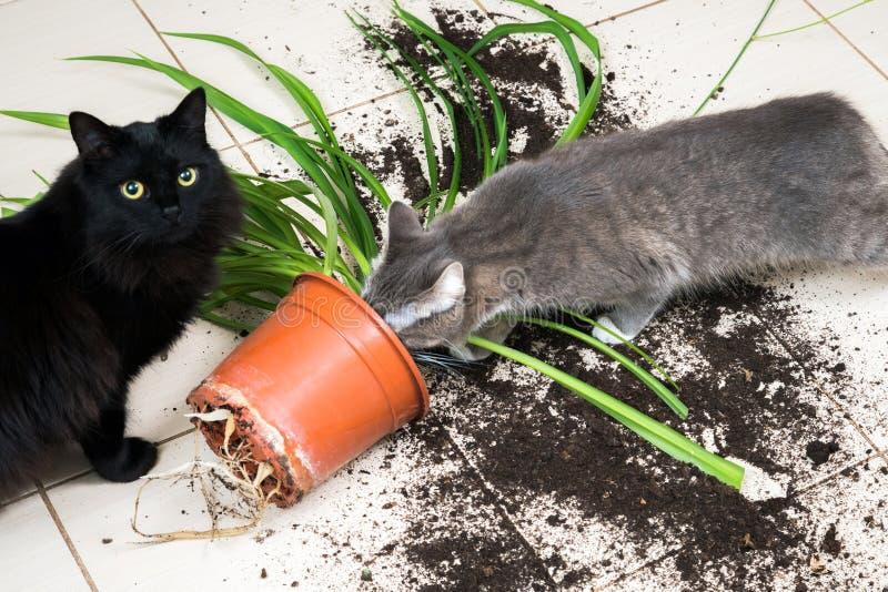 Den svarta katten tappade och bröt blomkrukan med den gröna växten på Ket royaltyfri foto