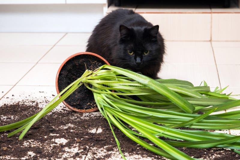 Den svarta katten tappade och bröt blomkrukan med den gröna växten på Ket arkivfoto