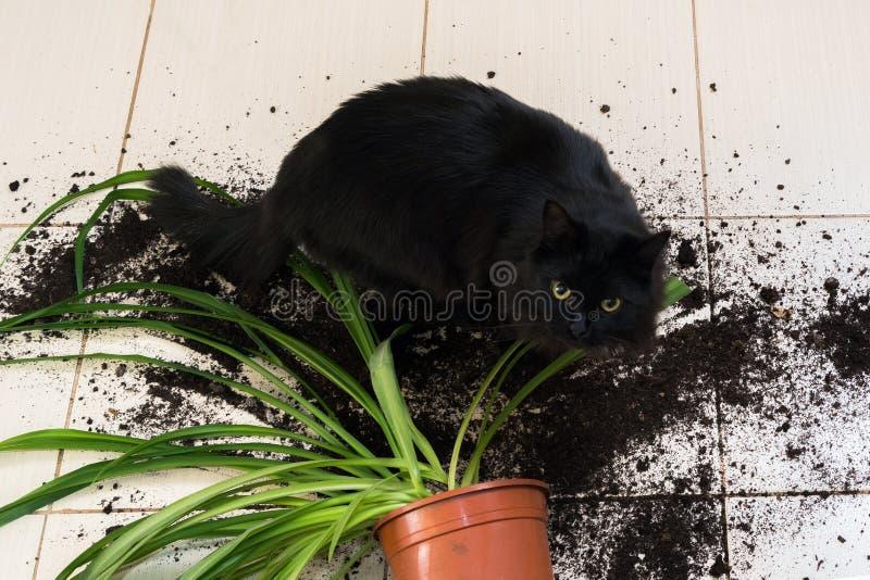 Den svarta katten tappade och bröt blomkrukan med den gröna växten på Ket royaltyfri bild