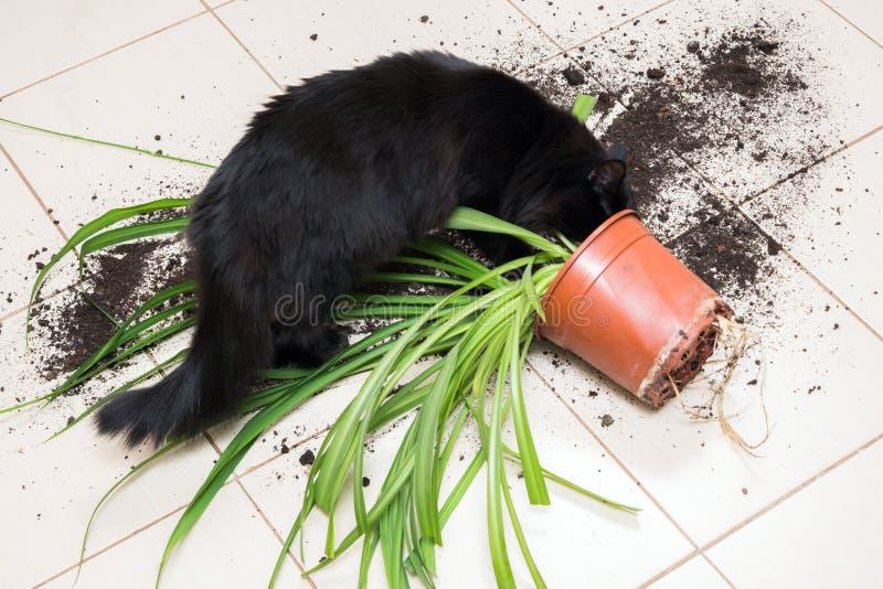 Den svarta katten tappade och bröt blomkrukan med den gröna växten på Ket royaltyfria bilder