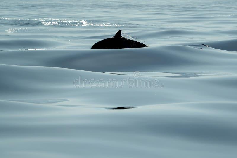 Den svarta konturn gjorde randig delfin, medan hoppa i det djupblå havet fotografering för bildbyråer