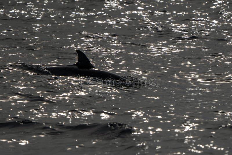 Den svarta konturn gjorde randig delfin, medan hoppa i det djupblå havet royaltyfria bilder