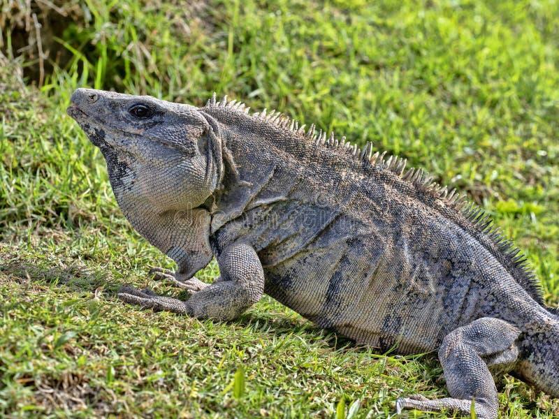 Den svarta leguanen, Ctenosaura similis, är en massiv ödla som bor mestadels på jordningen, Belize royaltyfri bild