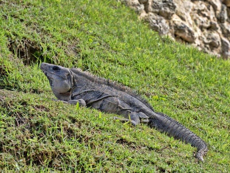 Den svarta leguanen, Ctenosaura similis, är en massiv ödla som bor mestadels på jordningen, Belize arkivbilder