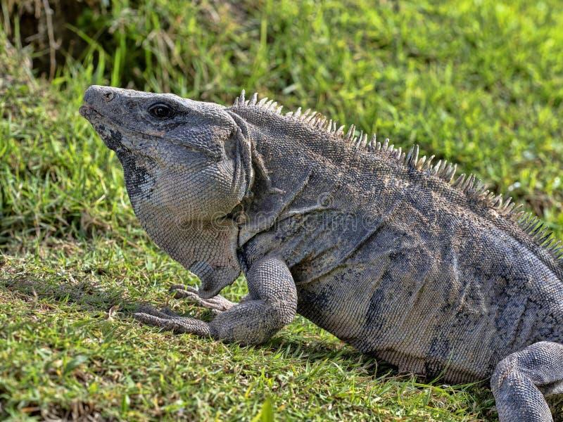 Den svarta leguanen, Ctenosaura similis, är en massiv ödla som bor mestadels på jordningen, Belize arkivfoton