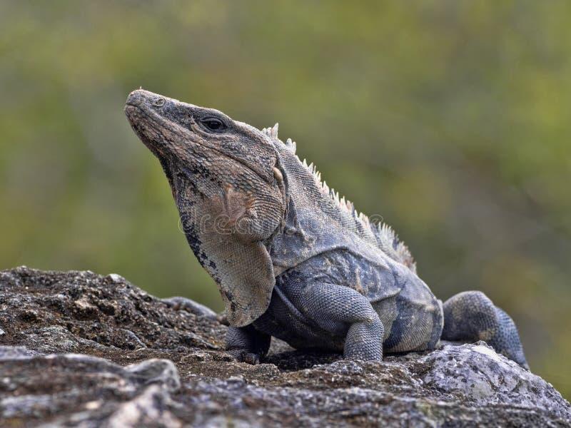 Den svarta leguanen, Ctenosaura similis, är en massiv ödla som bor mestadels på jordningen, Belize arkivbild