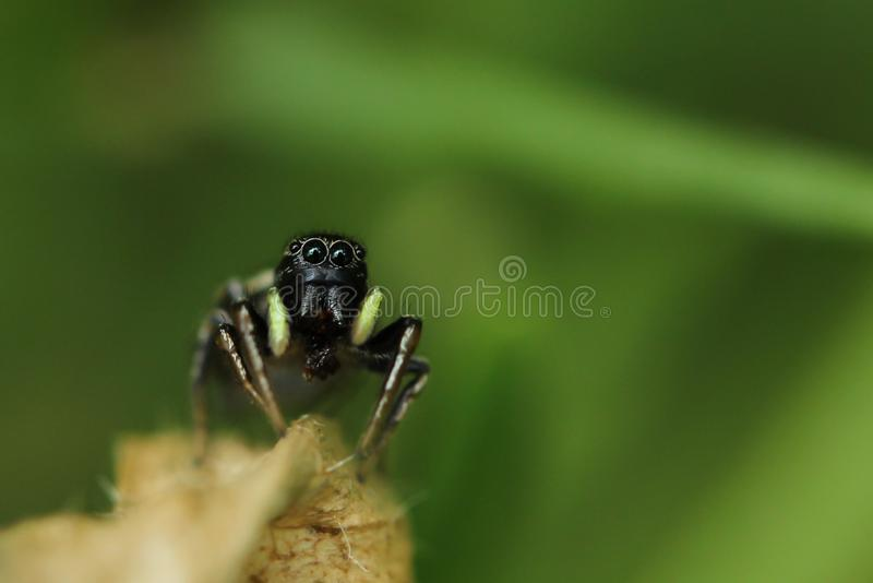 Den svarta lilla spindeln sitter på en bladbakgrundsgräsplan royaltyfri fotografi