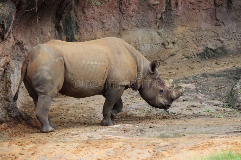 Den svarta noshörningen på det djurt parkerar royaltyfri foto