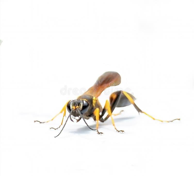 Den svarta och gula gyttjadauberen Wasp landar för ett ögonblick, innan han fortsätter dess sökande för blommor royaltyfria bilder