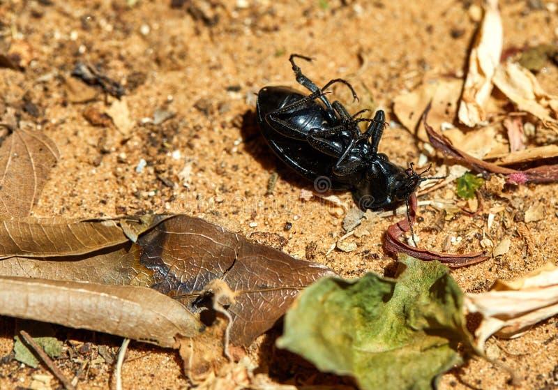 Den svarta skalbaggen, bläddrade på dess baksida som ligger på jordningen royaltyfri foto