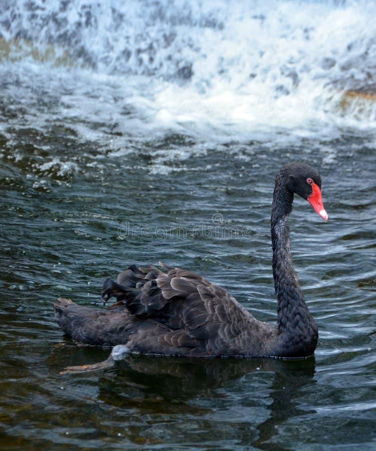 Den svarta svanen är en stor waterbird royaltyfri fotografi