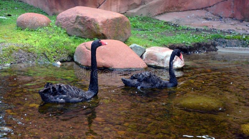 Den svarta svanen är en stor waterbird royaltyfria bilder