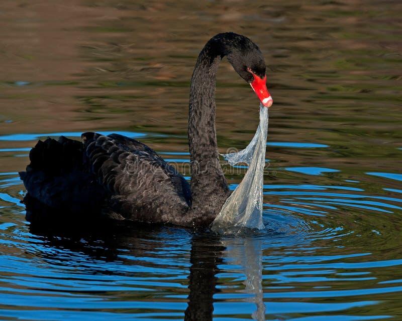 Den svarta svanen, Cygnusatratusförsök att äta plast- förorening royaltyfri fotografi