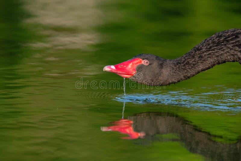 Den svarta svanen dricker vatten Cygnus Atratus close upp arkivbilder
