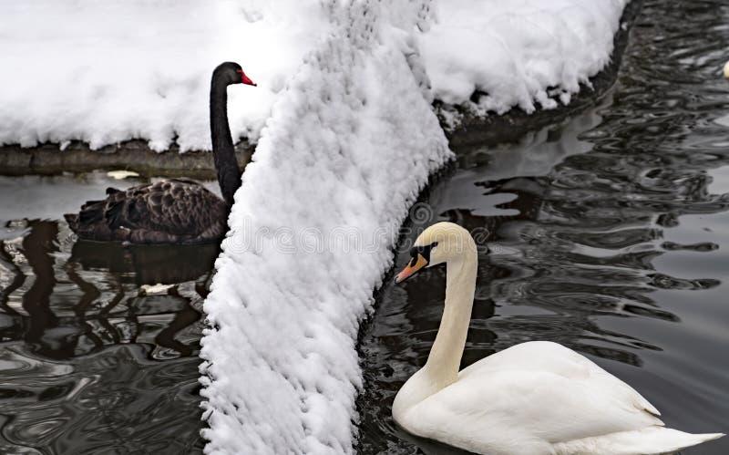 Den svarta svanen och vita svanen som avskiljs med ett staket i Kugulu, parkerar i vintern, Ankara, Turkiet arkivbilder