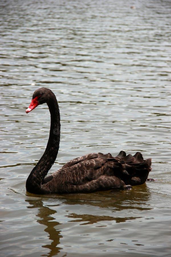 Den svarta svanen simmar på sjön arkivbilder