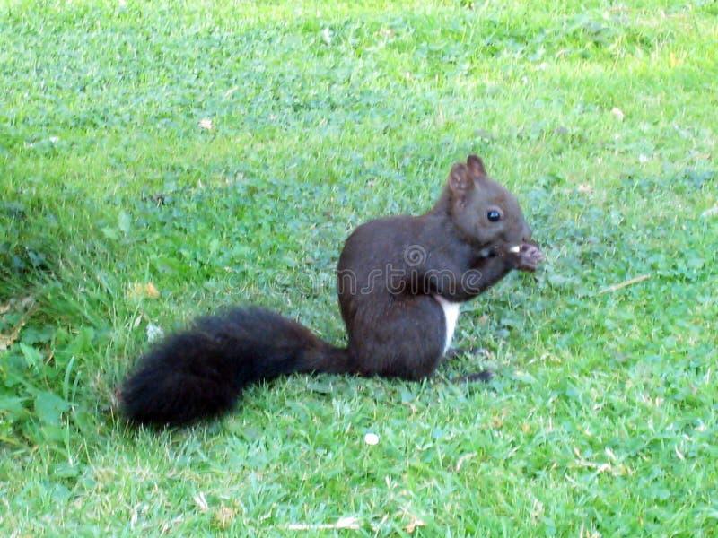Den svarta vita österrikiska ekorren äter en mutter med hans litet tafsar i Wien i parkerar royaltyfria bilder
